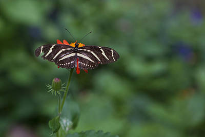 Photograph - Kanapaha Butterfly I by Charles Warren