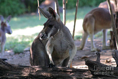 Kangaroo-2 Print by Gary Gingrich Galleries