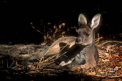 Photograph - Kangaroo by Inge Riis McDonald