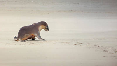 Australian Sea Lion Photograph - Kangaroo Island, Australia, Sea Lion Pup by Janet Muir