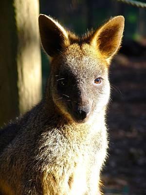 Kangaroo Joey Original by Ian Mcadie