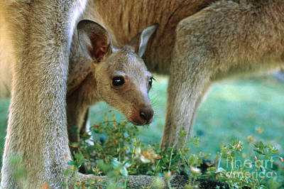 Kangaroo Photograph - Kangaroo Joey by Mark Newman