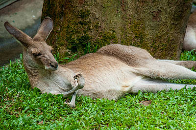Photograph - Kangaroo Manicure  by Harry Spitz