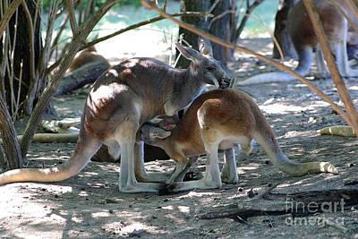 Kangaroo Nurse-6 Art Print by Gary Gingrich Galleries