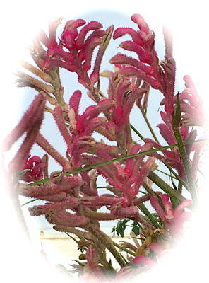 Drawing - Kangaroo Paws by Jim Hubbard