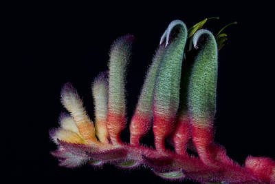 Photograph - Kangaroo Paws by Kim Aston
