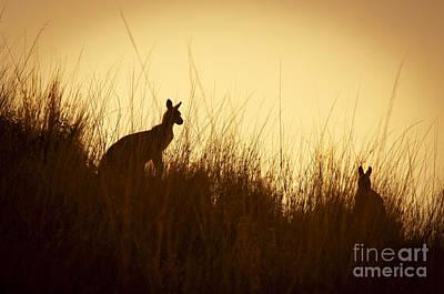 Kangaroo Silhouettes Art Print by Tim Hester