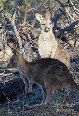 Photograph - kangaroos - Australia by Steven Ralser