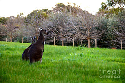 Kangaroo Digital Art - Kangaroos Together by Phill Petrovic