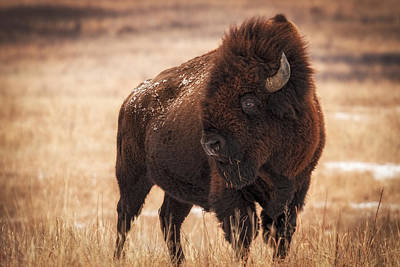 Photograph - Kansas Bison by Scott Bean