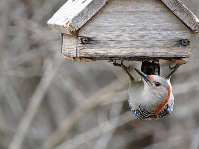 Wildlife Photograph - Kansas Red Bellied Woodpecker by Rebecca Overton