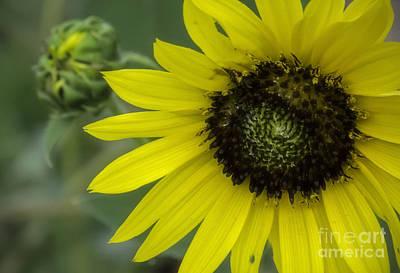 Photograph - Kansas State Flower by Fred Lassmann