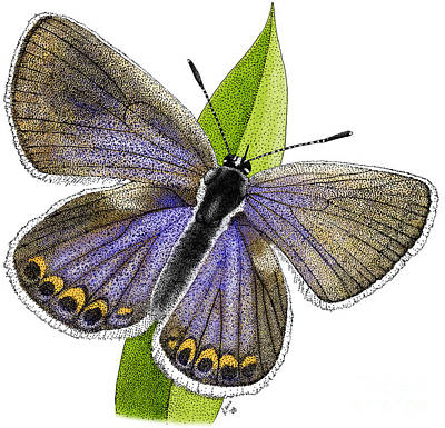 Photograph - Karner Blue Butterfly by Roger Hall