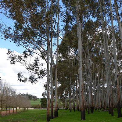 Photograph - Karri Trees In Winter by Cheryl Miller
