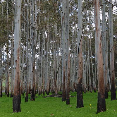 Photograph - Karri Trees With Green by Cheryl Miller