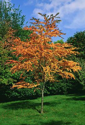 Katsura Wall Art - Photograph - Katsura Tree (cercidiphyllum Japonicum) by Tony Wood/science Photo Library