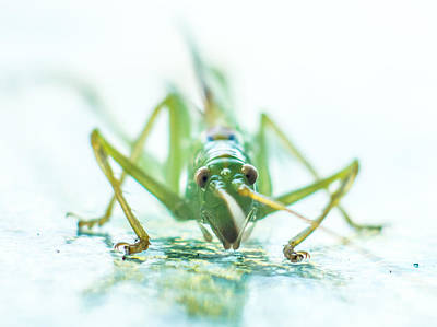 Katydid Art Print by Carl Engman