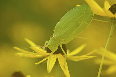 Photograph - Katydid - Nature Photograph by Jane Eleanor Nicholas