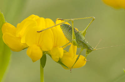 Photograph - Katydid On Birdsfoot Trefoil by Kathryn Whitaker