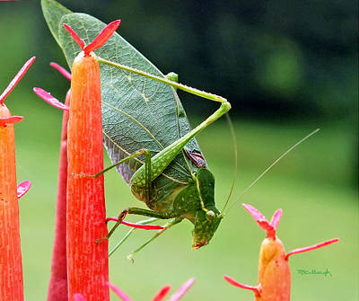 Photograph - Katydid On Firesticks 2 by Duane McCullough