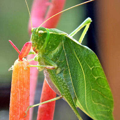 Photograph - Katydid On Firesticks 5 by Duane McCullough