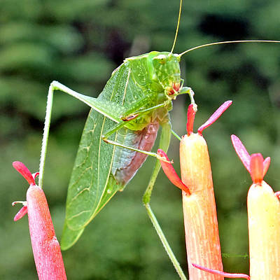 Photograph - Katydid On Firesticks 8 by Duane McCullough