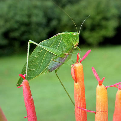 Photograph - Katydid On Firesticks 9 by Duane McCullough