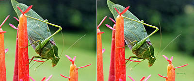 Photograph - Katydid On Firesticks In Stereo by Duane McCullough