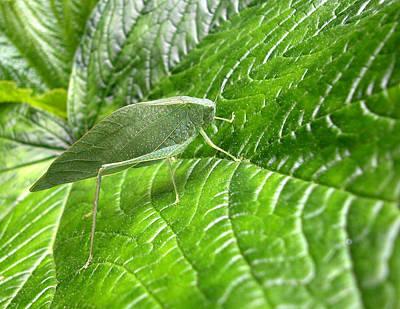Photograph - Katydid On Green by Rob Huntley
