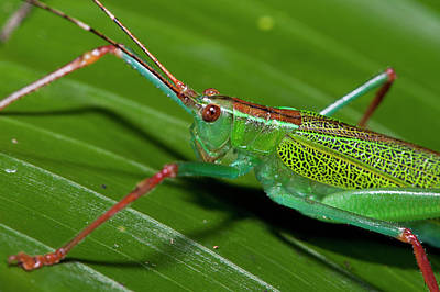 Katydid Photograph - Katydid (tettigoniidae by Pete Oxford