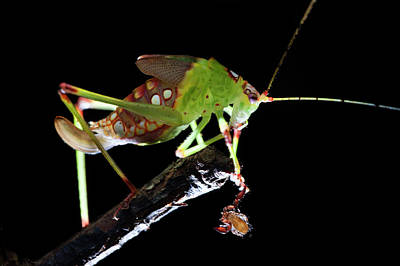Katydid Photograph - Katydid With Pseudoscorpion by Melvyn Yeo