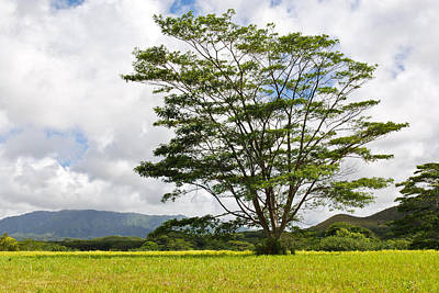 Photograph - Kauai Umbrella Tree by Shane Kelly