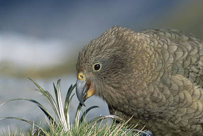 Fox Glacier Photograph - Kea Feeding At Fox Glacier New Zealand by Tui De Roy