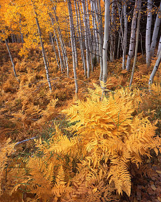 Photograph - Kebler Pass Aspens by Ray Mathis