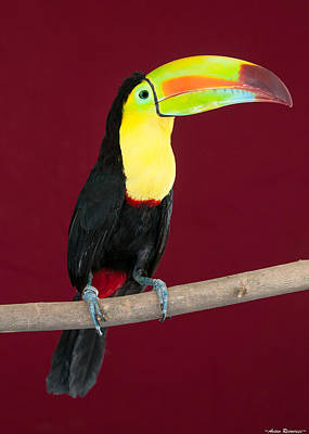 Art Print featuring the photograph Keel-billed Toucan 4 by Avian Resources