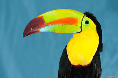 Photograph - Keel-billed Toucan On Blue by Avian Resources