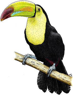 Photograph - Keel-billed Toucan by Roger Hall
