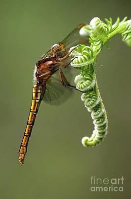 Bracken Fern Photograph - Keeled Skimmer Dragonfly by Colin Varndell