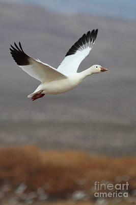 keep flying Goose Art Print
