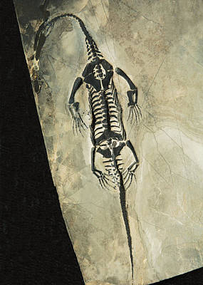 Photograph - Keichousaurus Marine Reptile Fossil by Millard H. Sharp