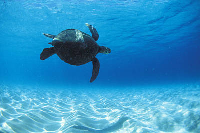 Hawaii Sea Turtle Photograph - Keiki Turtle by Sean Davey