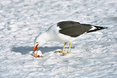 Kelp Gull Eating A Penguin Egg Print by Dr P. Marazzi