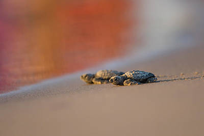 Kemp Photograph - Kemp's Ridley Sea Turtle (lepidochelys by Larry Ditto