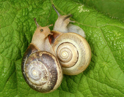Kentish Snails Art Print by Nigel Downer