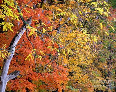 Photograph - Kentucky Coffeetree by Fred  Sheridan