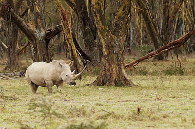 Rhinoceros Photograph - Kenya, Africa Adult Rhinoceros by Jan and Stoney Edwards