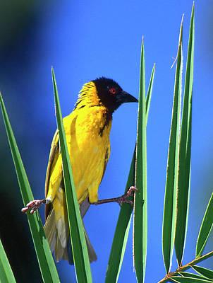 Grasp Photograph - Kenya Masked Weaver Bird Grasps Leaves by Jaynes Gallery