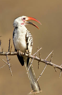 Hornbill Wall Art - Photograph - Kenya Red-billed Hornbill Bird Perched by Jaynes Gallery