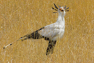 Secretary Photograph - Kenya Secretary Bird In Tall Grass by Jaynes Gallery