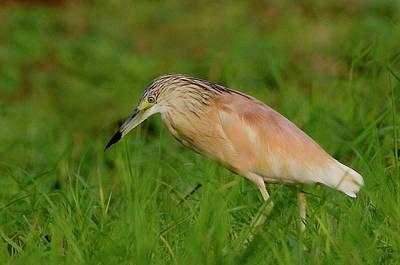 Green Heron Photograph - Kenya Squacco Heron Bird In Green Grass by Jaynes Gallery